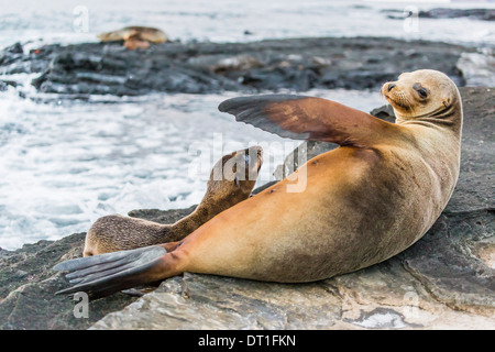 Galapagos sea lion (Zalophus wollebaeki) pup nursing in Puerto Egas, Santiago Island, Galapagos Islands, UNESCO - Stock Photo