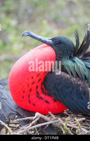 Great Frigatebird male (Fregata minori), Genovesa Island, Galapagos, UNESCO World Heritage Site, Ecuador, South - Stock Photo