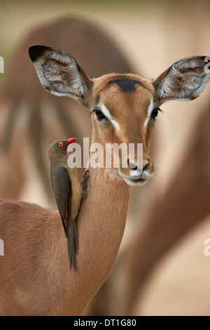 Red-billed oxpecker (Buphagus erythrorhynchus) on a female impala, Kruger National Park, South Africa - Stock Photo