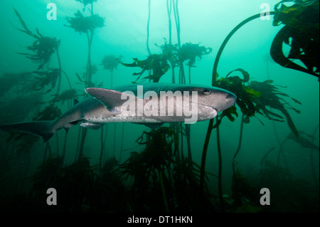 Seven gill shark, Cape Town, South Africa, Africa - Stock Photo