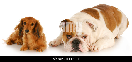 miniature dachshund and english bulldog laying down looking at viewer on white background - Stock Photo