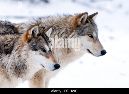 Two sub adult North American Timber wolves (Canis lupus) in snow, Austria, Europe - Stock Photo
