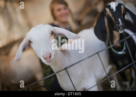 A woman in a stable on an organic farm White and black goats - Stock Photo