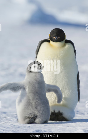 An adult Emperor penguin and a smaller fluffy penguin chick spreading its flippers out - Stock Photo
