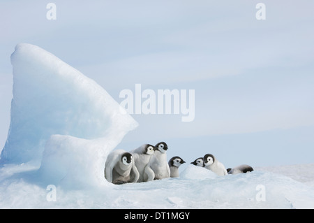 A nursery group of young penguin chicks with thick grey fluffy coats grouped beneath a pinnacle of ice - Stock Photo