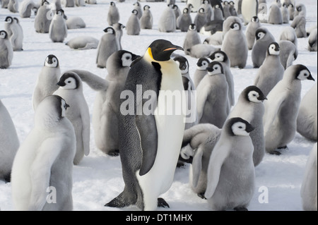 A group of Emperor penguins one adult animal and a large group of penguin chicks A breeding colony - Stock Photo