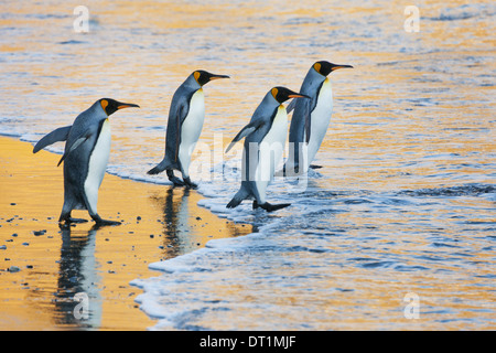 A group of four adult King penguins at the water's edge walking into the water at sunrise Reflected light - Stock Photo