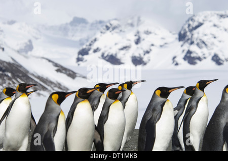 A group of king penguins Aptenodytes patagonicus on South Georgia island - Stock Photo