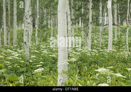 Grove of aspen trees with white bark and wild flowers growing in their shade