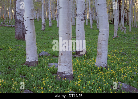 Grove of aspen trees with white bark and bright green vivid colours in the wild flowers and grasses underneath