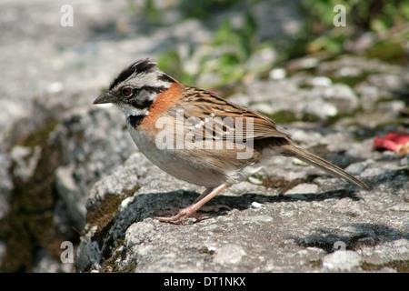 A Rufous Collared Sparrow on a stone ledge in Cotacachi, Ecuador - Stock Photo