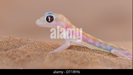 Palmatogecko (Pachydactylus rangei)  also known as Web-footed Gecko  a nocturnal gecko endemic to the Namib Desert - Stock Photo