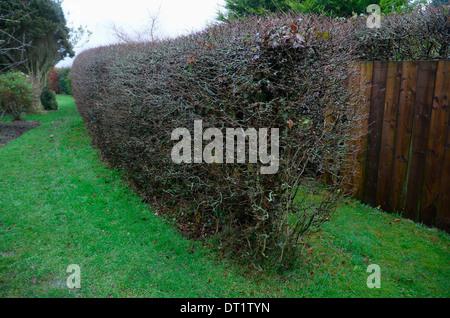 Hornbeam hedge in winter - Stock Photo