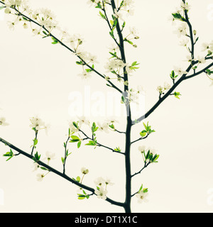 An apple tree blossoming and growing in the spring time Green leaves and white blossom against a white background - Stock Photo