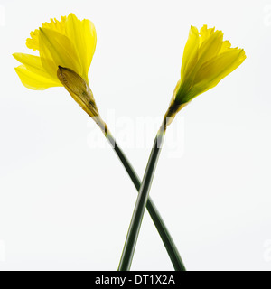 Yellow Daffodil flowers on a white background - Stock Photo