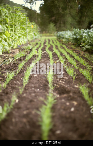 A vegetable garden bed Planted with rows of green shoots seedlings and plants Fresh organic produce Market garden - Stock Photo