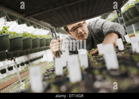 Spring growth in an organic plant nursery A man checking trays of seedlings on a trolley - Stock Photo