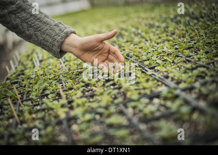 Spring Planting A man tending trays of small plant seedlings - Stock Photo