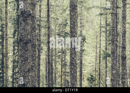 A dense forest of green moss covered trees of old growth cedar fir and hemlock in a national forest in Washington - Stock Photo