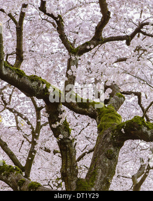 Frothy pink cherry blossom on cherry trees in spring in Washington state USA - Stock Photo