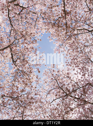 Frothy pink cherry blossom on cherry trees in spring in Washington state viewed from the ground against a blue sky - Stock Photo