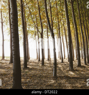 Cottonwood trees planted in ordered rows casting long shadows on the ground Commercial arboriculture a tree nursery - Stock Photo