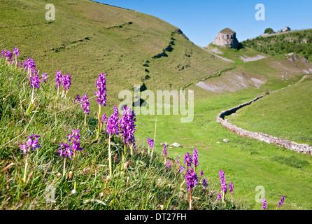 Early Purple Orchids & Peter's Stone, Cressbrook Dale, Peak District National Park, Derbyshire, England, UK - Stock Photo