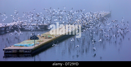 Seagulls at the small port of Psarades village, Megali ('big') Prespa lake, Florina, Macedonia, Greece. - Stock Photo