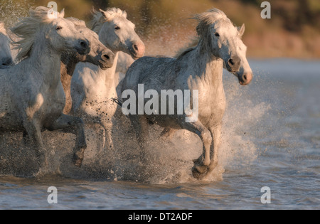White horses running through blue water into the sunlight - Stock Photo