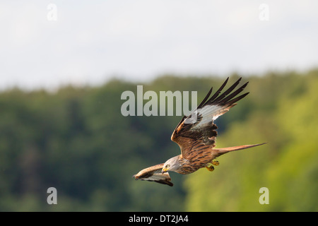 Milvus milvus Red Kite Roter Milan flying Rotmilan - Stock Photo