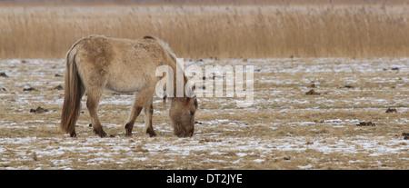 A grazing Konik horse - Stock Photo