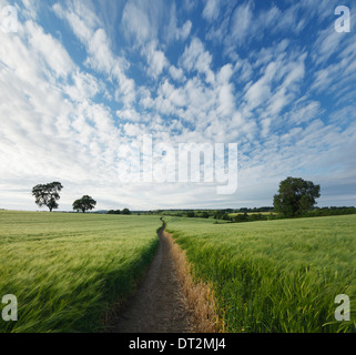 Footpath through a field of barley in the rolling countryside near West Haddon. Northamptonshire. England. UK. - Stock Photo