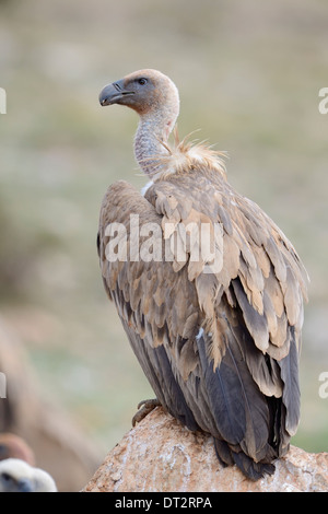 Griffon vulture standing on a rock. - Stock Photo