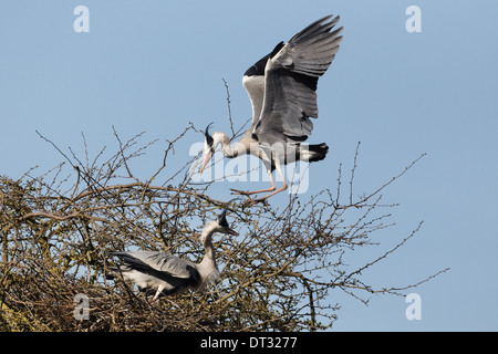 Grey heron (Ardea cinera) about to land at nest - Stock Photo