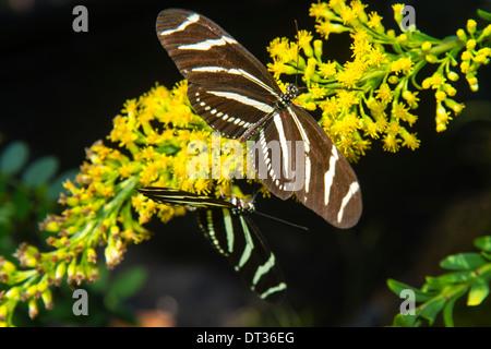 Sanibel Island Florida J.N. JN Ding Darling National Wildlife Refuge Zebra Longwing or Zebra Heliconian butterfly - Stock Photo
