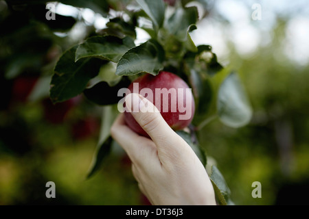 A hand reaching up into the boughs of a fruit tree picking a red ripe apple