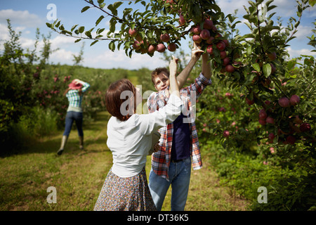 Rows of fruit trees in an organic orchard A group of people picking the ripe apples - Stock Photo