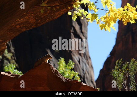 Rock Squirrel in Zion National Park Utah cliff rock slick slickrock game ewe run jump jumping running - Stock Photo