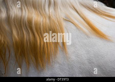Lusitano horse, Bahia, Brazil - Stock Photo