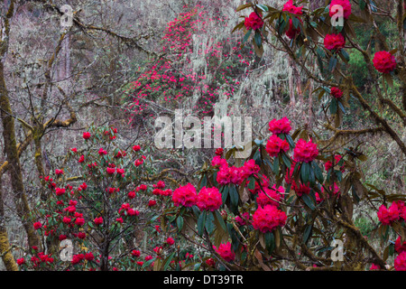 Rhododendron in bloom in the forests of Paro Valley, Bhutan - Stock Photo