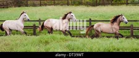 Lusitano horses, Bahia, Brazil - Stock Photo