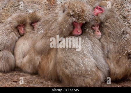 Japanese Macaques, Japanese Alps, Honshu Island, Japan - Stock Photo