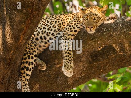 Leopard, Panthera pardus, Okavango Delta, Botswana. - Stock Photo