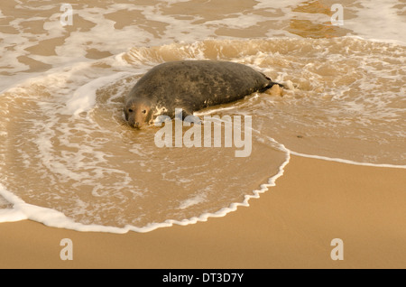 Grey seal [Halichoerus grypus] female probably lost pup following 2013 tidal surge. December. Norfolk. Near Winterton - Stock Photo