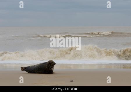 Grey seal [Halichoerus grypus] male bull  December. Norfolk. Between Horsey Gap and Winterton Dunes. UK - Stock Photo