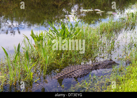 Miami Everglades Florida National Park Shark Valley Tram Tour Trail nature water alligator submerged - Stock Photo