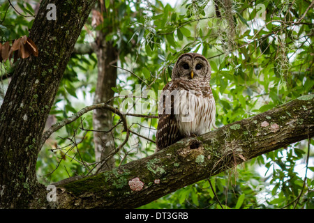 Barred Owl (strix varia) sitting in a tree looking at the camera. - Stock Photo