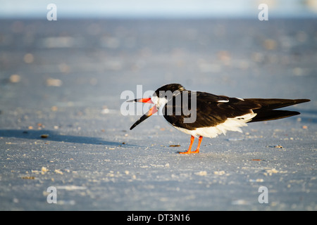 Black Skimmer (Rynchops niger) standing on the beach with its beak open. - Stock Photo
