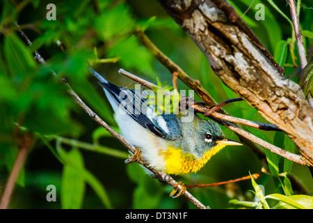 Northern Parula (Setophaga americana) perched in a tree. - Stock Photo