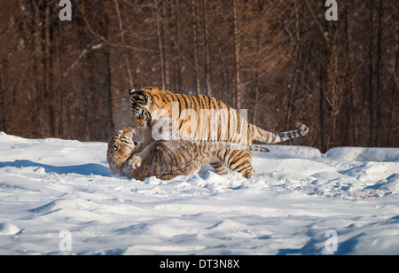 Two Siberian Tigers fighting in the snow - Stock Photo